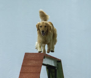 Golden Retriever on dogwalk